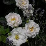 Rosa alba ´Maxima´