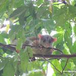 Wollopossum in Costa Rica