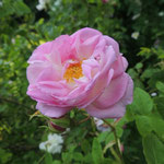 Rosa damascena ´Gloire de Guilan´