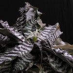 Cryptanthus Hybride ´Christmas´