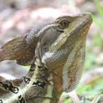 Costa Rica - Land der Vielfalt: ein Basilisk