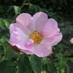 Rosa x macrantha