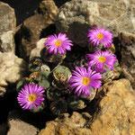 Faszinierende Überlebenskünstler: Lebende Steine in der Wüste Südafrikas