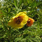 Paeonia lutea (Wildform)
