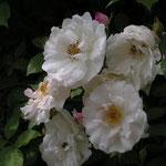 Rosa arvensis `venusta Pendula´