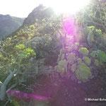Einzigartige Pflanzenwelt auf La Palma (Kanarische Inseln): Aeonium palmense