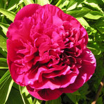 Paeonia officinalis ´Rubra Plena´
