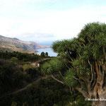 Uralte Drachenbäume auf La Palma (Kanerische Inseln)
