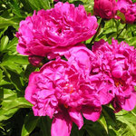Paeonia ´Bunker Hill´