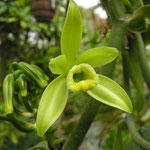 Faszinierende Orchideen: Vanilla planifolia