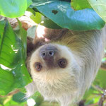 Zweifinger-Faultier in Costa Rica