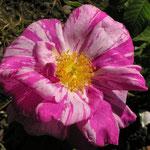 Rosa gallica ´Versicolor´