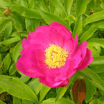 Paeonia ´Hoffnung´