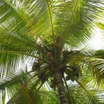 ein karibischer Traum: Kokospalmen auf der Antillen-Insel Guadeloupe