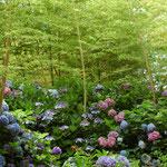 梅雨入り彩る  千葉県  6月     小野喜作