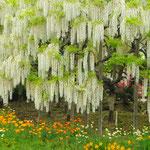 藤、咲き誇る  足利フラワーパーク 5月 小野喜作