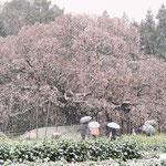 風雪に耐えて 吉高 3月 梅川記生