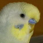 blaue Wachshaut bei dem Farbschlag: Hellflügel grau EGG 2, Spangle