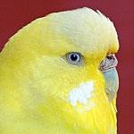 Farbschlag: Australisches Gelbgesicht, df Spangle, gelb