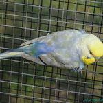 Die verlorene blaue Schwanzfeder wächst nach.