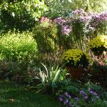 Chrysanthemenbüsche, Herbastern, Gründüngung Gelbsenf