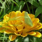 Ringelblume mit Zitronenfalter