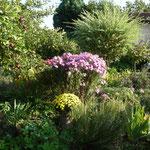 Herbstastern und Chrysanthemen