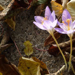 Herbstkrokus