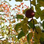 Apfel vor Herbstlaub