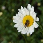 Biene auf Wiesenmargerite