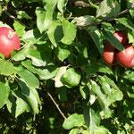 "Apfel ""Roter Berlepsch"""