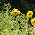Staudensonnenblume und Goldrute