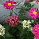 bunte Margeriten, rosa und weiße Spornblumen