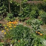 Selbstaussäherbeet, Hintergrund Stangenbohnen und Tomaten
