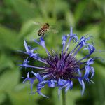 Biene fliegt von blauer Bergflockenblume auf
