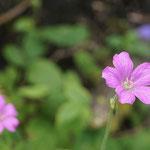 rosa Storchschnabel