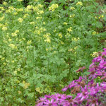 Gelbsenf und Herbstastern