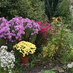 weiße Aster, lila Rauhblattaster, Aster Alma Pötschke, gelbe Chrysanthemen