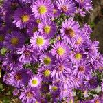 Herbstastern lila mit Biene