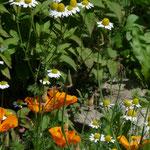 Ringelblume und Kamille