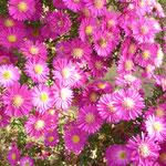 Herbastern pink mit Bienen