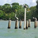 pélicans sur la mer des Caraibes / pelicans on Caribbean sea
