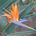 oiseau du paradis / beautiful flower