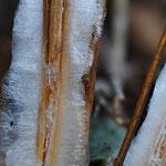 シモバシラの氷の花
