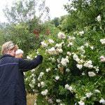 Die schönsten Rosen blühen immer in anderen Gärten :)