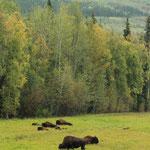 Wilde Bison sind selten eworden in Nordamerika