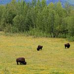 Wilde Bison
