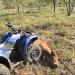 Keine Sorge.. der lebt noch... Bullcatching (Bullen fangen).. man rammt das Tier mit dem Quad und wenn es umgefallen ist dann parkt man darauf... nur noch schnell die Beine zusammen knoten und man hat einen extrem friedlichen 400kg Bullen :-) -kein Scherz