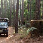 Abholzen der Baumriesen wird mittlerweile unterbunden