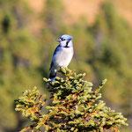 Blue Jay... Symbol Neufundlands